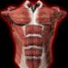Muscular System 3D (anatomy) MOD